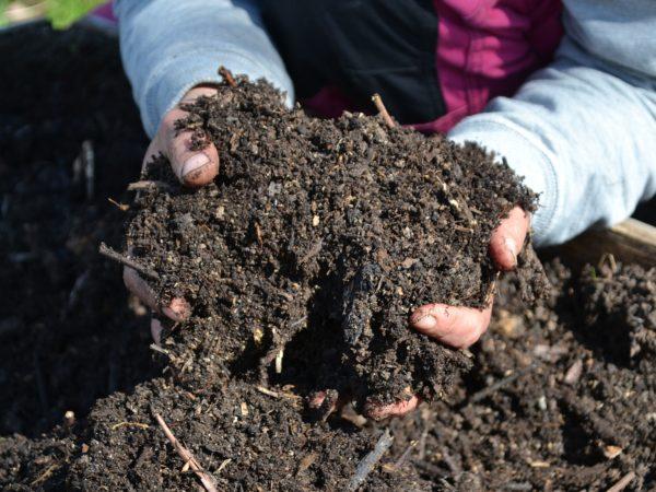 Två händer håller fantastisk svart mylla i en kompost.