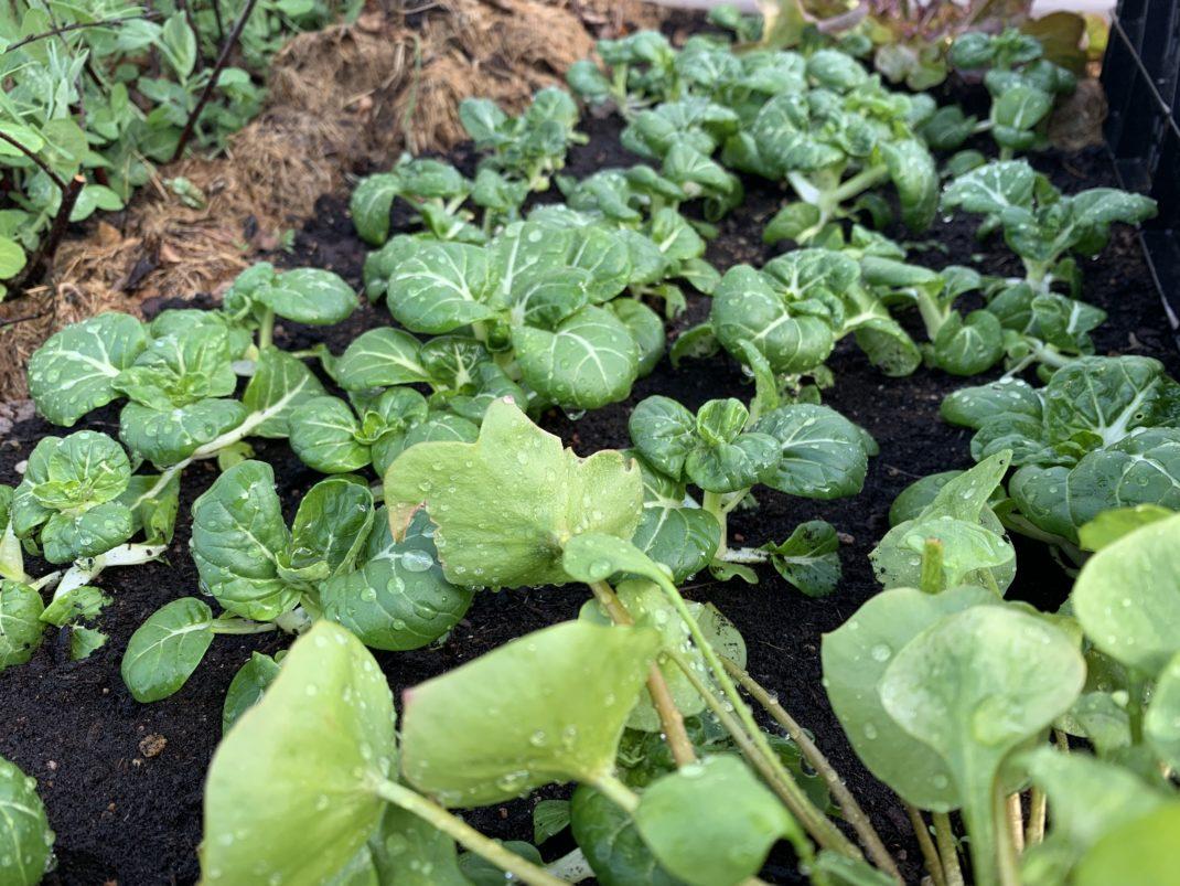Bild tagen på hela växtplatsen med knubbiga gröna små plantor.