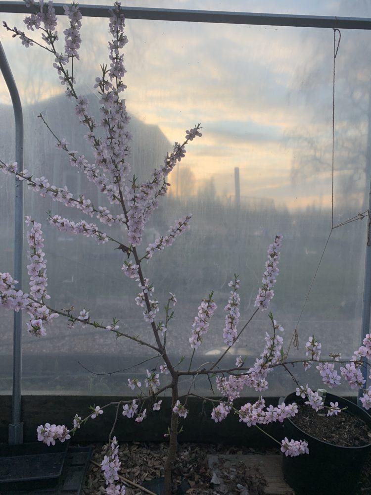 Ett litet spensligt träd, översållat med ljusrosa blommor i massor.