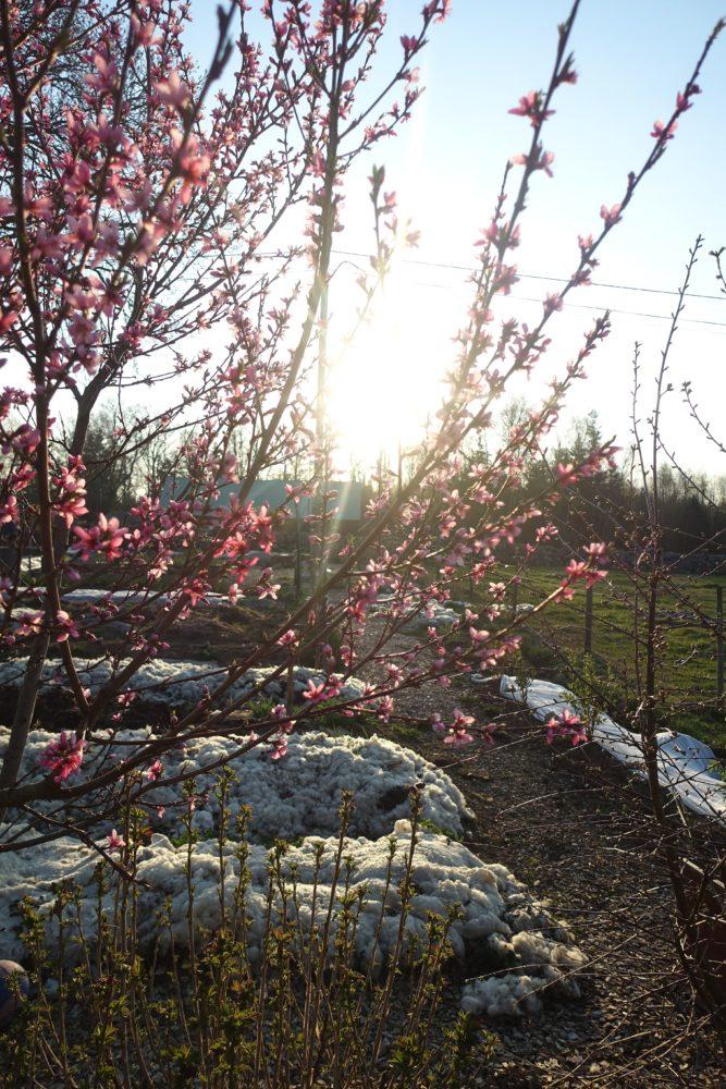 Ett blommande träd med rosa blommor i motljus.