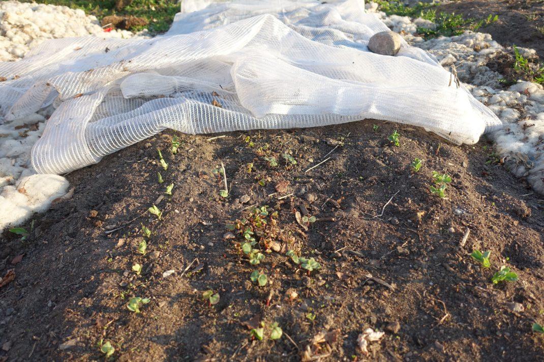 En odlingsbädd med jord och små gröna grejer som sticker upp ur jorden.