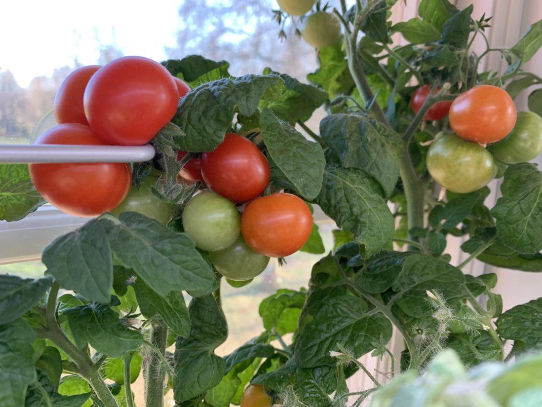 Klasar med små röda tomater på frodiga gröna plantor i fönster.