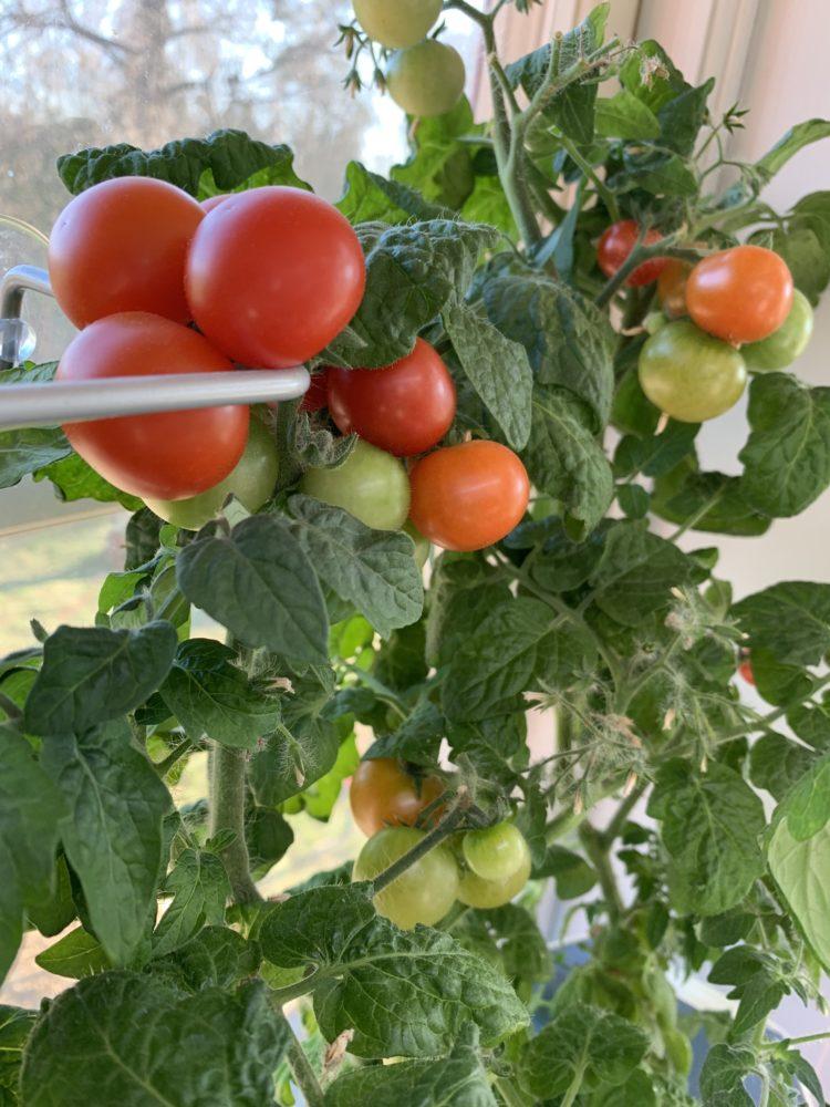 Närbild på klasar med tomater i röda nyanser.