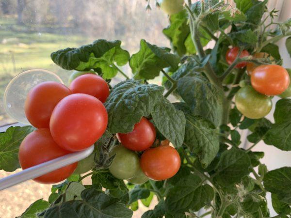 Närbild på en klase röda tomater i fönstret.