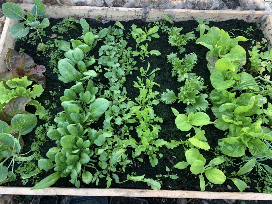 Bild ovanifrån på en pallkrage med grönsaker i rader.