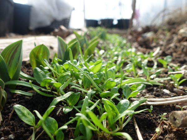 Närbild av små fina plantor av spenat i tunnelväxthuset.