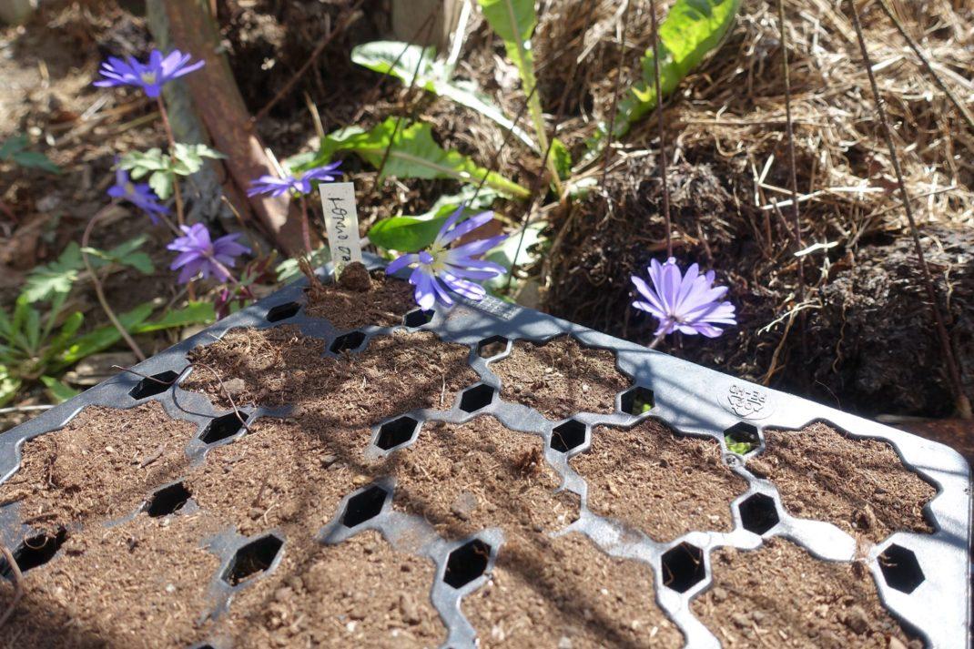 Närbild på så-tråg med jord och lila blommor i bakgrunden.