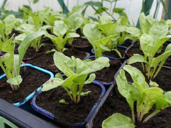 Små plantor växer fint i nya krukor.