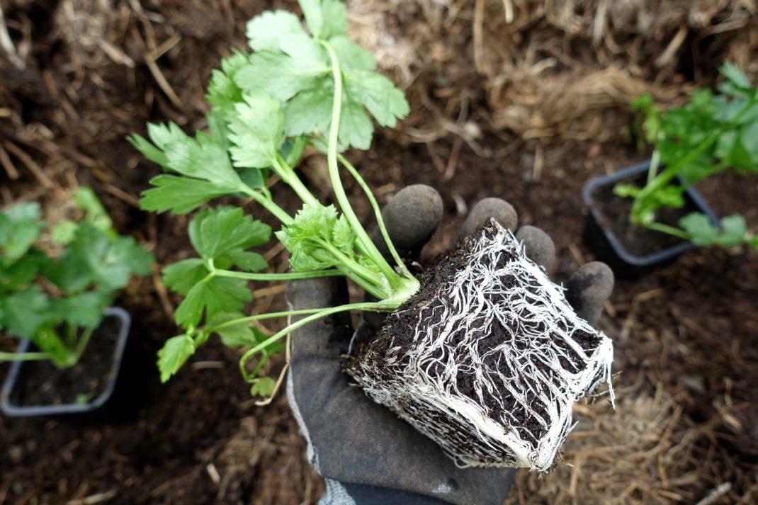 En hand håller en rotklump full med vita tunna rötter.