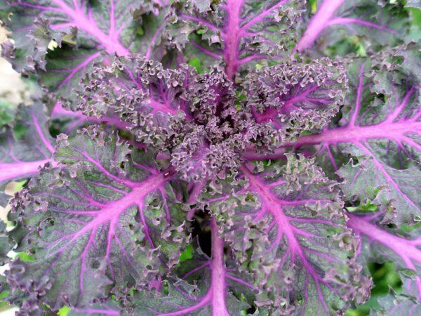 En vacker grönkål med lila blad.