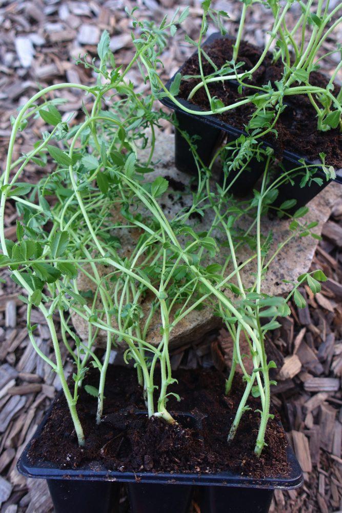 En vildvuxen och spretig ärtväxt i små tråg som ligger på träflis.