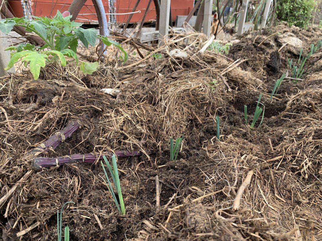 Täckodlad bädd med spretig liten lök planterad.