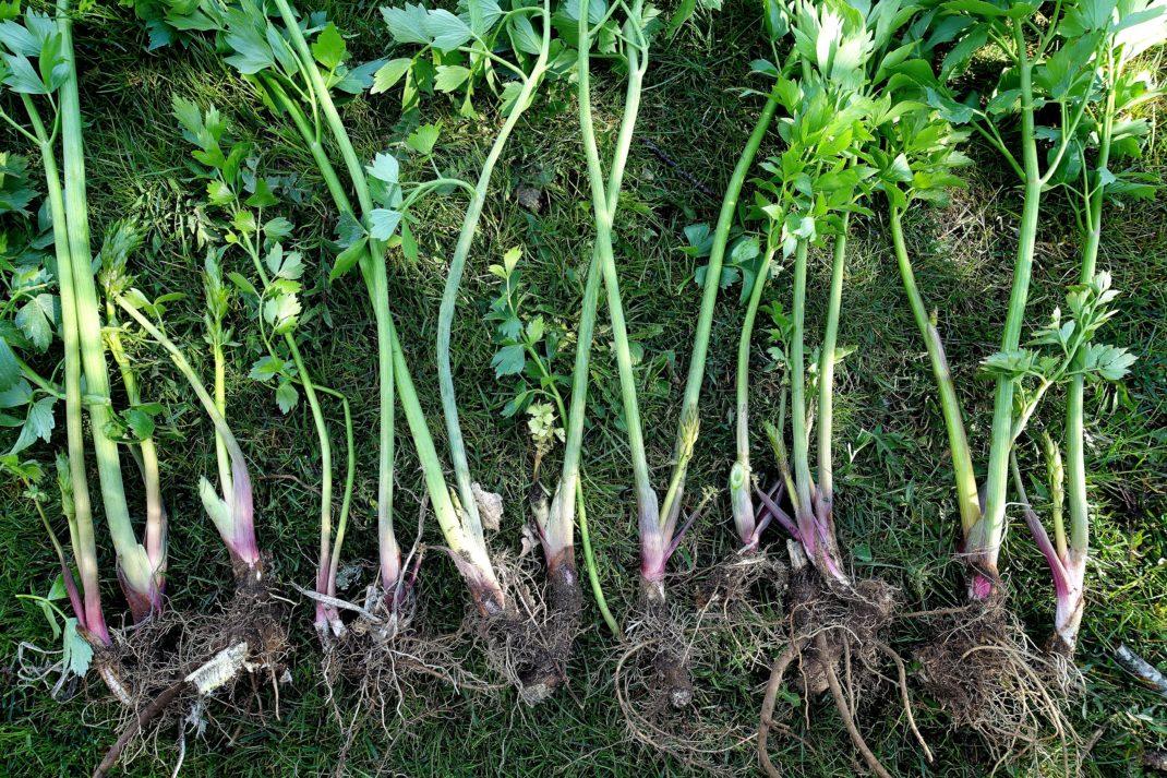 Vackra rosagröna stjälkdelar med rötter ligger på gräsmattan.