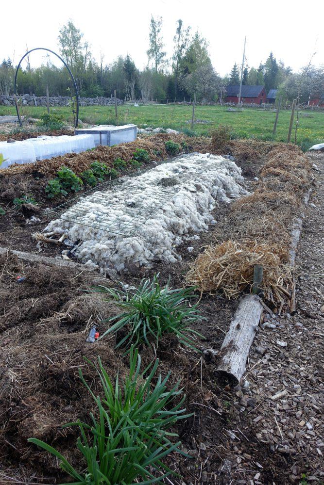 Övergripande bild på köksträdgården med bäddar täckta av halm/gräs och ull.