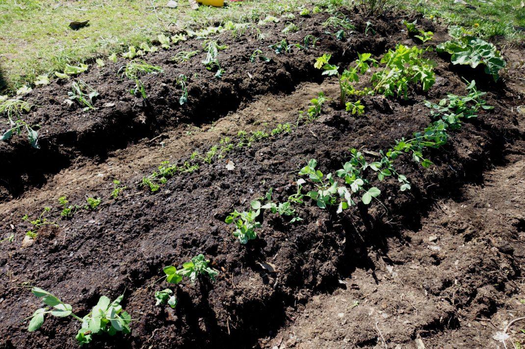 Två land planterade med gröna tufsar.