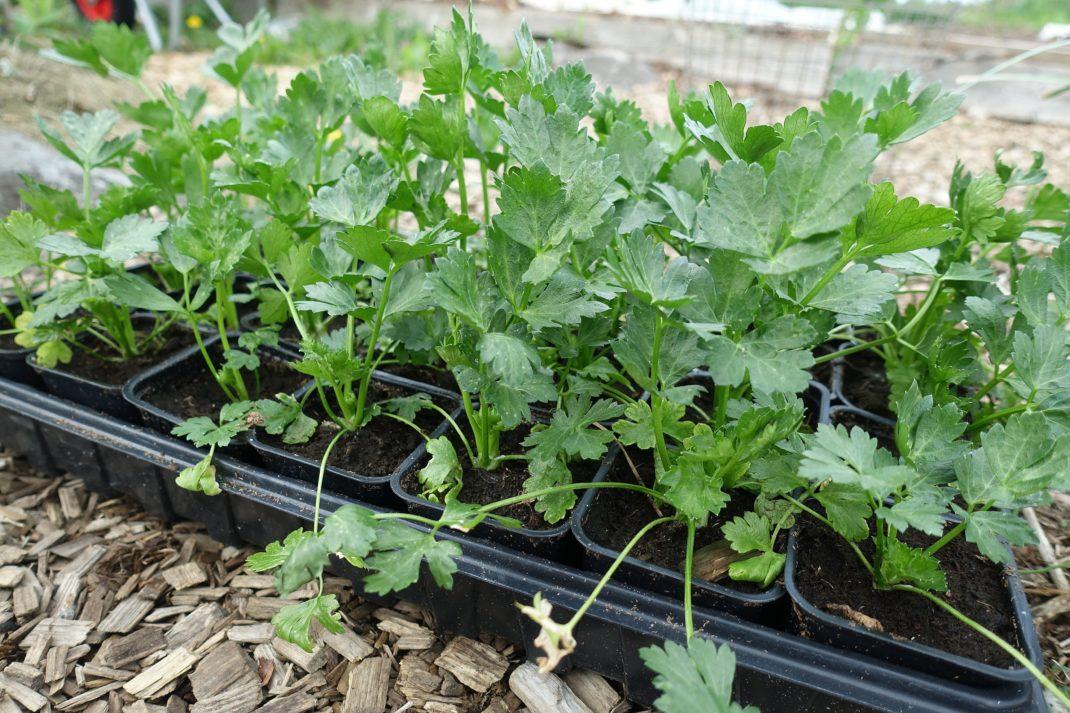 En svart bricka full med fyrkantiga krukor med gröna växter i.