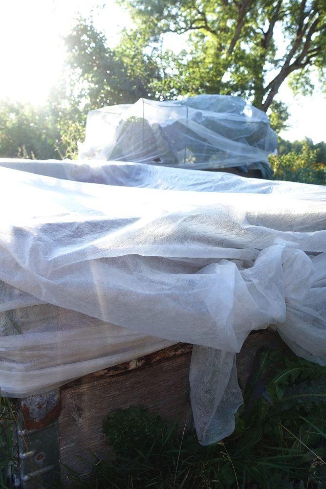 Odlingsplatser täckta med vit fiberduk.