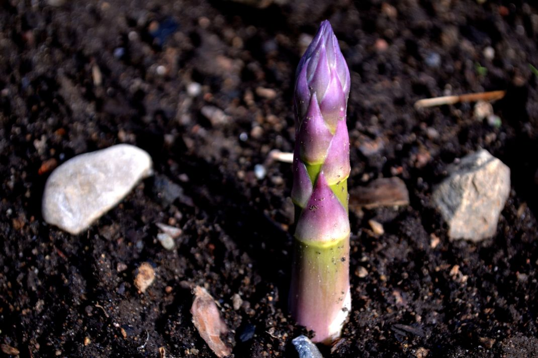 En lila sparrisknopp tittar upp ur kolsvart jord.