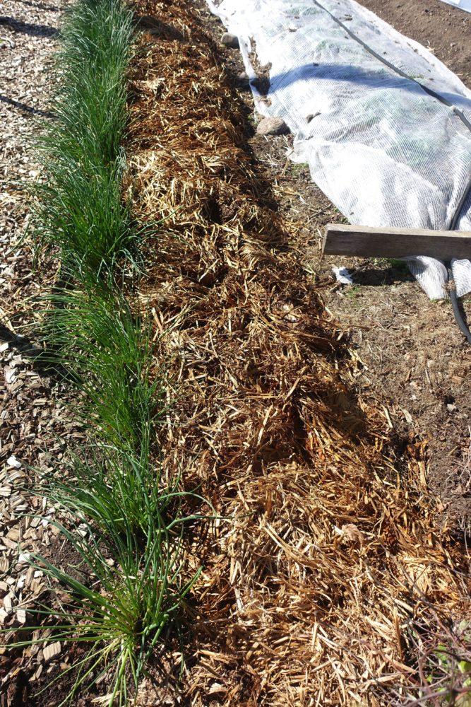 Närbild på en rad gräslök och en del av köksträdgården täckt med ett ljust material.