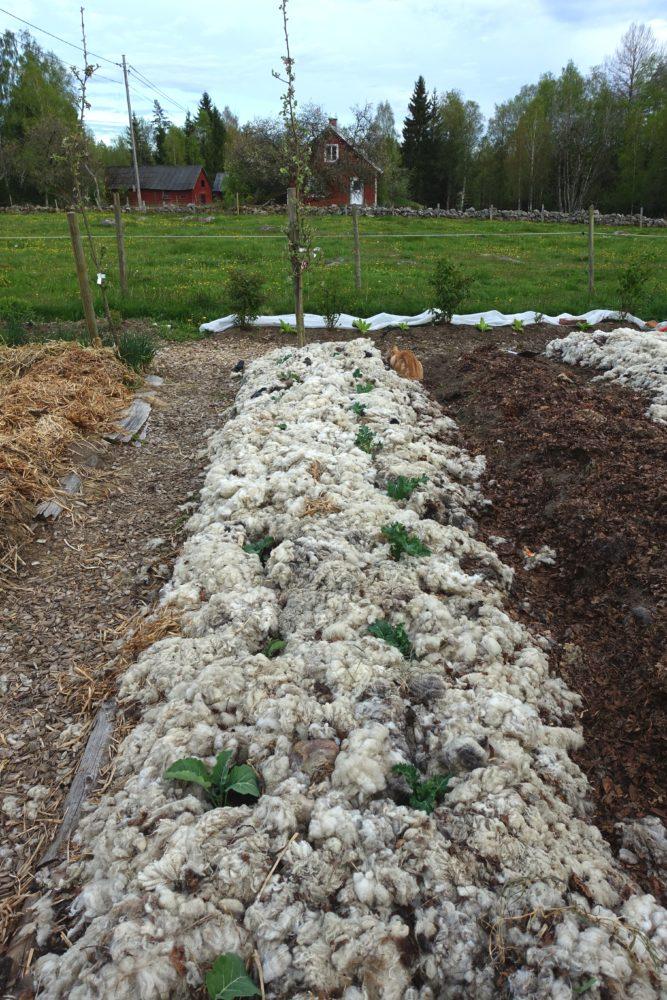 En stående bild som visar nästan hela bädden, täckt med ull och gröna tussar kål mitt i.