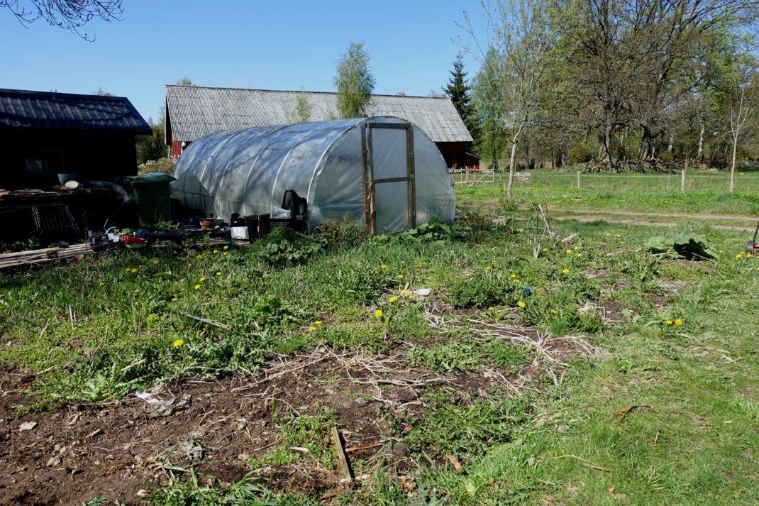 En igenvuxen plätt i trädgården, med massa ogräs. Ett tunnelväxthus i bakgrunden.