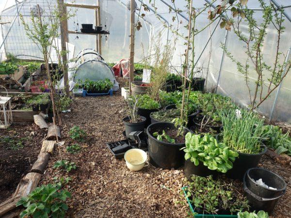 Interiör från tunnelväxthus med massor av gröna blad lågt växande.