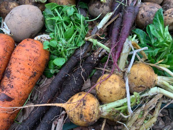 Närbild av skörd i januari, morötter, majrova, svartrötter, potatis, rotseller, vintersallat, vinterportulak.