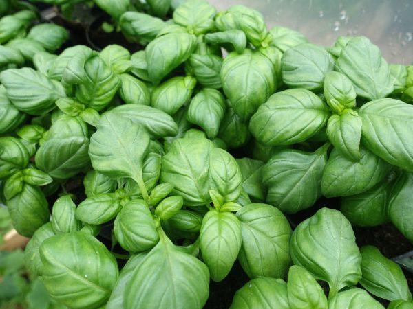 Frodiga gröna blad trängs bredvid varandra i en bild som fylls ut av gröna blad.