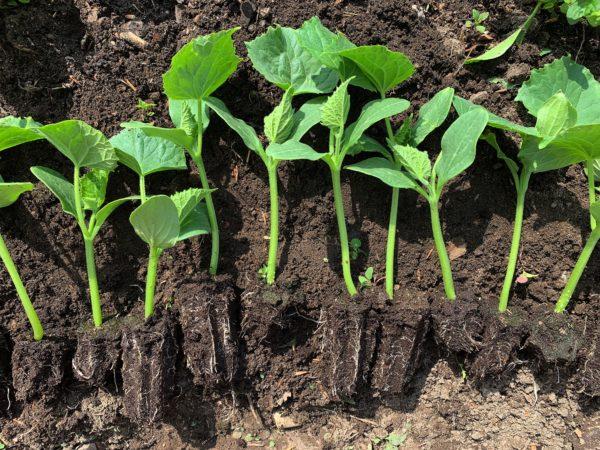 Gurkplantor ligger bredvid varandra på jorden med blottade rötter.