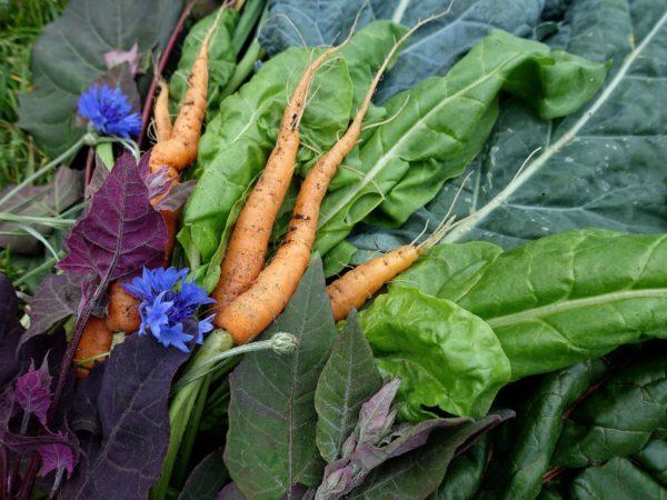 En skördebild med bladgrönsaker, morot och blåklint.