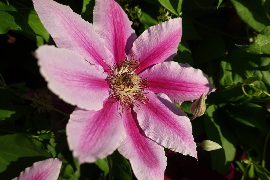 Närbild på en utslagen stor rosa blomma.