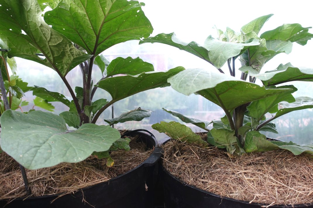 Två frodiga plantor med stora blad planterade i två krukor.