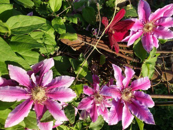 Närbild på rosa stora blommor över en rostig gammal cykelsadel.