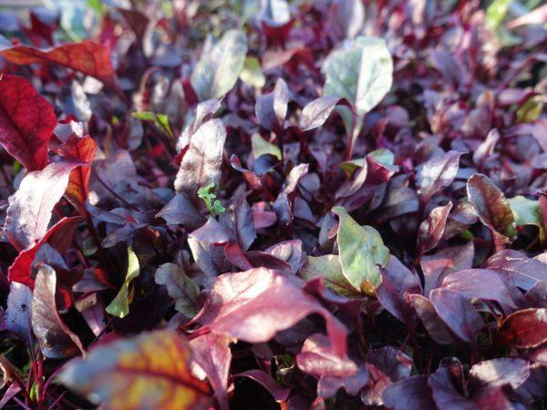 Massor av fina blad av rödbeta.