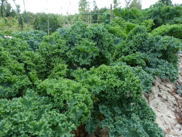 En rad av maffig grönkål i olika nyanser av mörkgrönt.