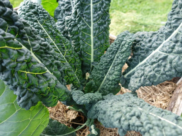Maffig planta av svartkål med breda, mörkt gröna blad.