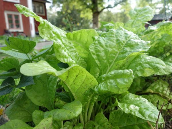 Närbild på läckra mangolden perpetual spinach,