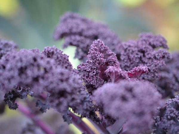 Närbild på vacker lila grönkål.