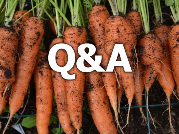 Jordiga morötter ligger på rad och över dem står texten Q&A.