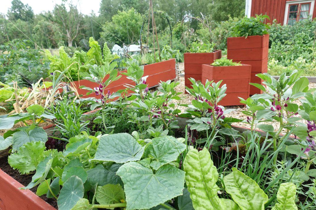 En odlingsplats med rödmålade pallkragar och grönsaker.