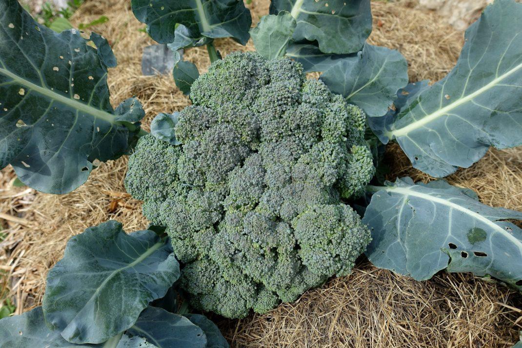 Ett stort grönt och tätt toppskott av broccoli ligger på torkat gräs.