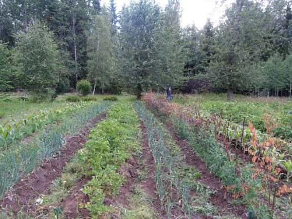 Grönsaker i långa rader på en liten åker i ett skogsbryn.