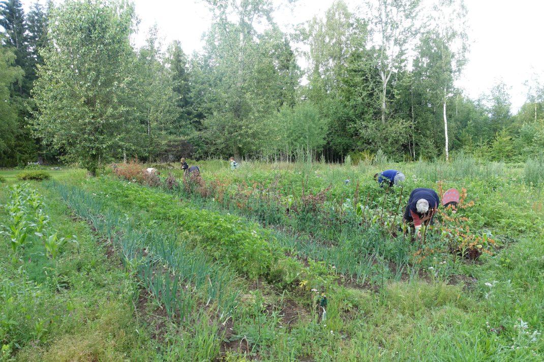 En stor yta med grönsaker i rader.
