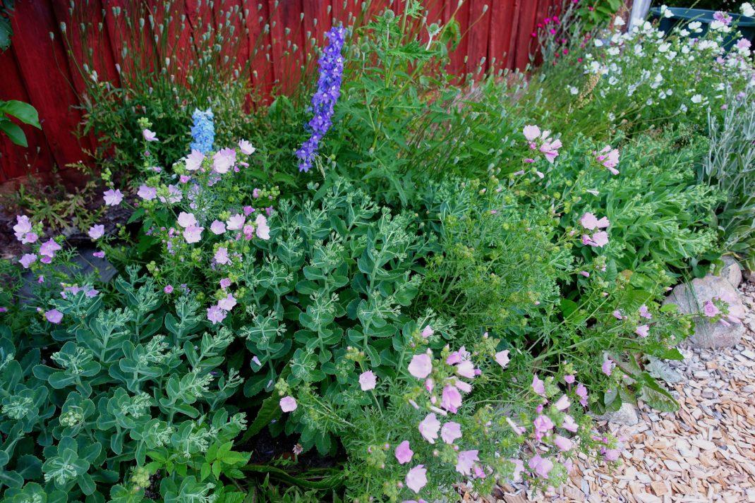 En väldfylld perennrabatt med blommor i rosa och blått.