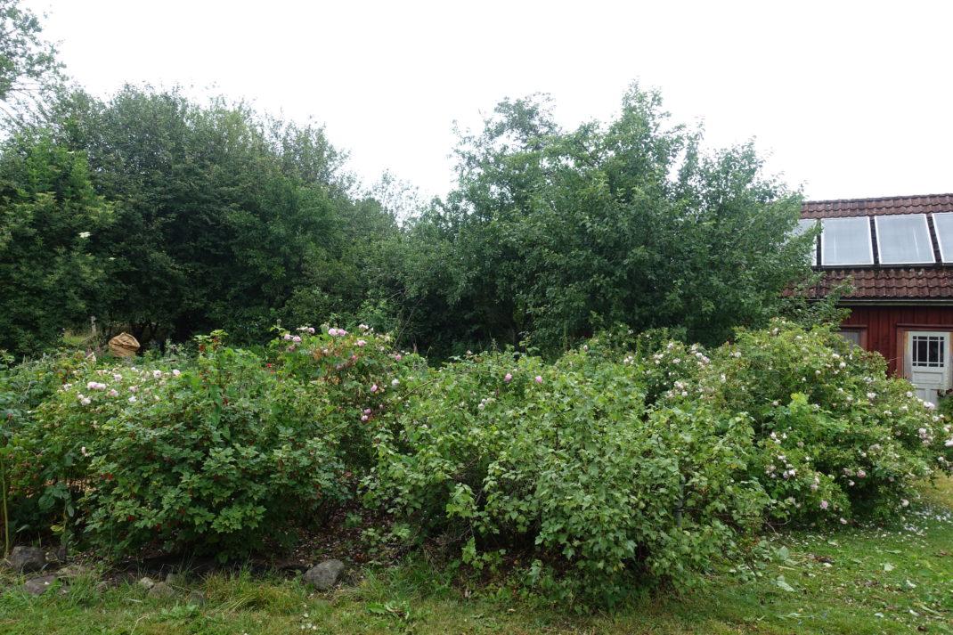 Ett fint buskage i en trädgård.