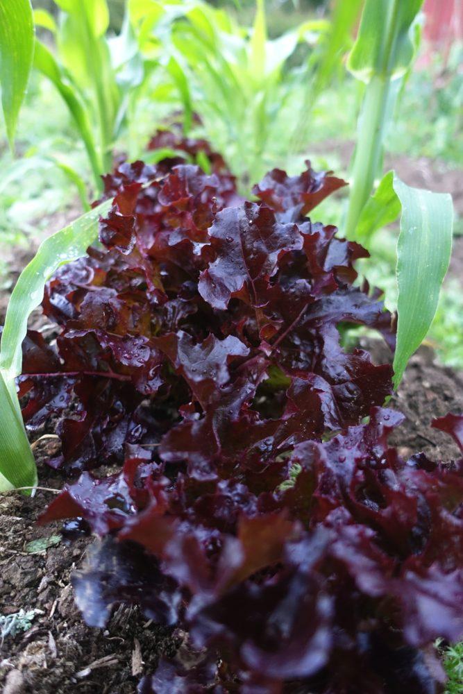 En illröd sallad mellan gröna plantor av majs.