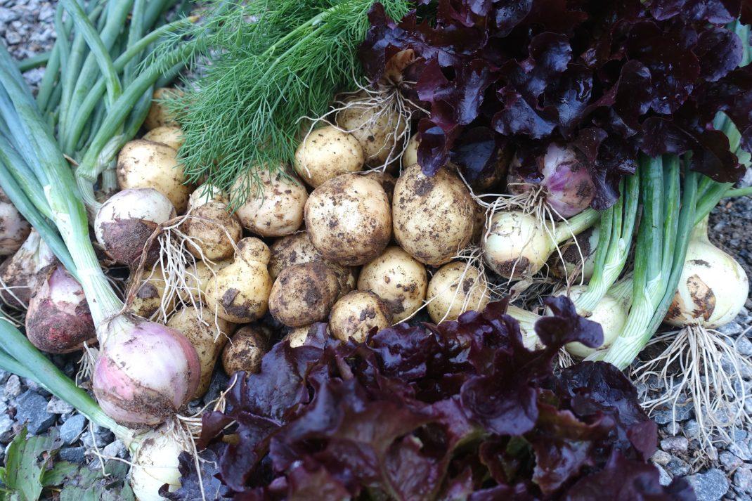 En bild med sallat, lök, dill och potatis.