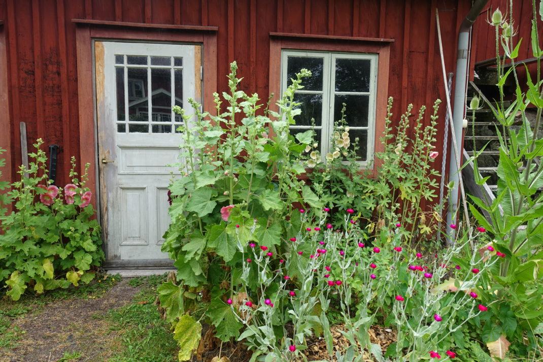 Ett uthus med vacker dörr omgärdat av stockrosor och andra sommarblommor.