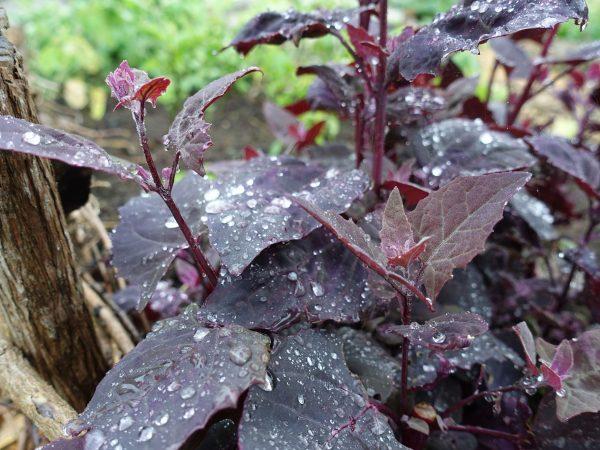 Vacker bild med röda bladgrönsaker med regndroppar på.