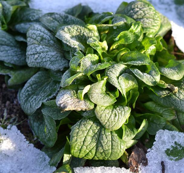 Vintersallat i snö och frost.